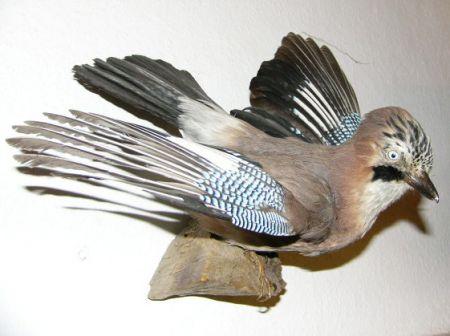 Abbildung eichelhäher weißgerbermuseum